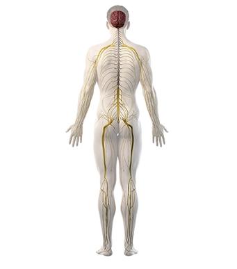 Sensibilisation du système nerveux